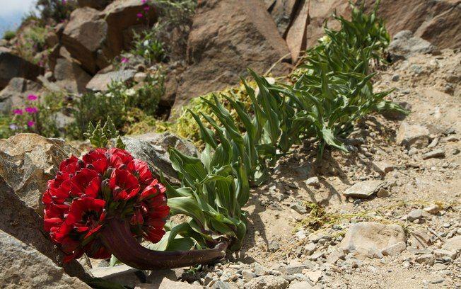 Flores no deserto de Atacama-Chile, by essaseoutras.xpg.uol.com.br