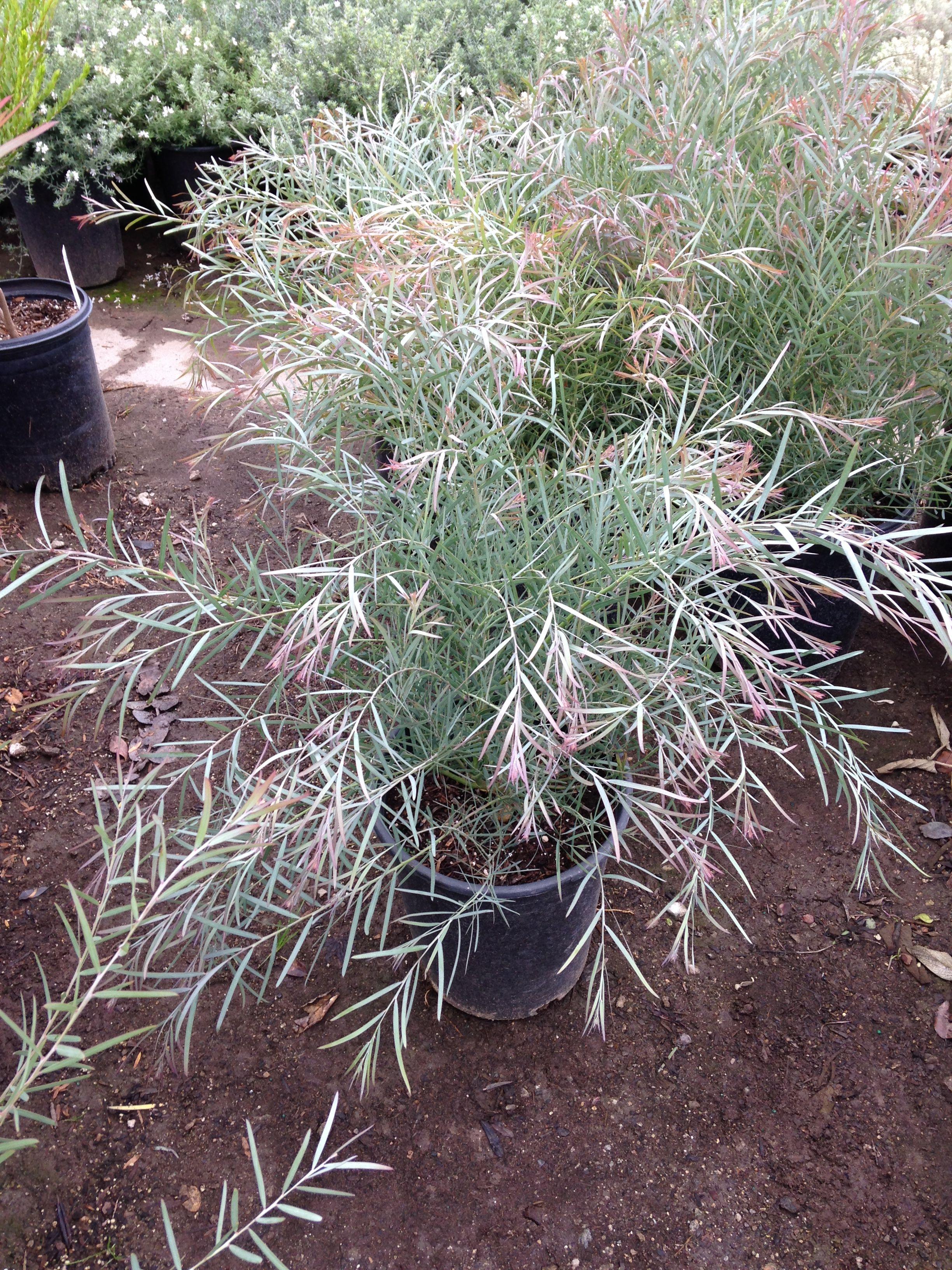 Acacia Iteaphylla Shrubs Backyard Beach Garden Plants
