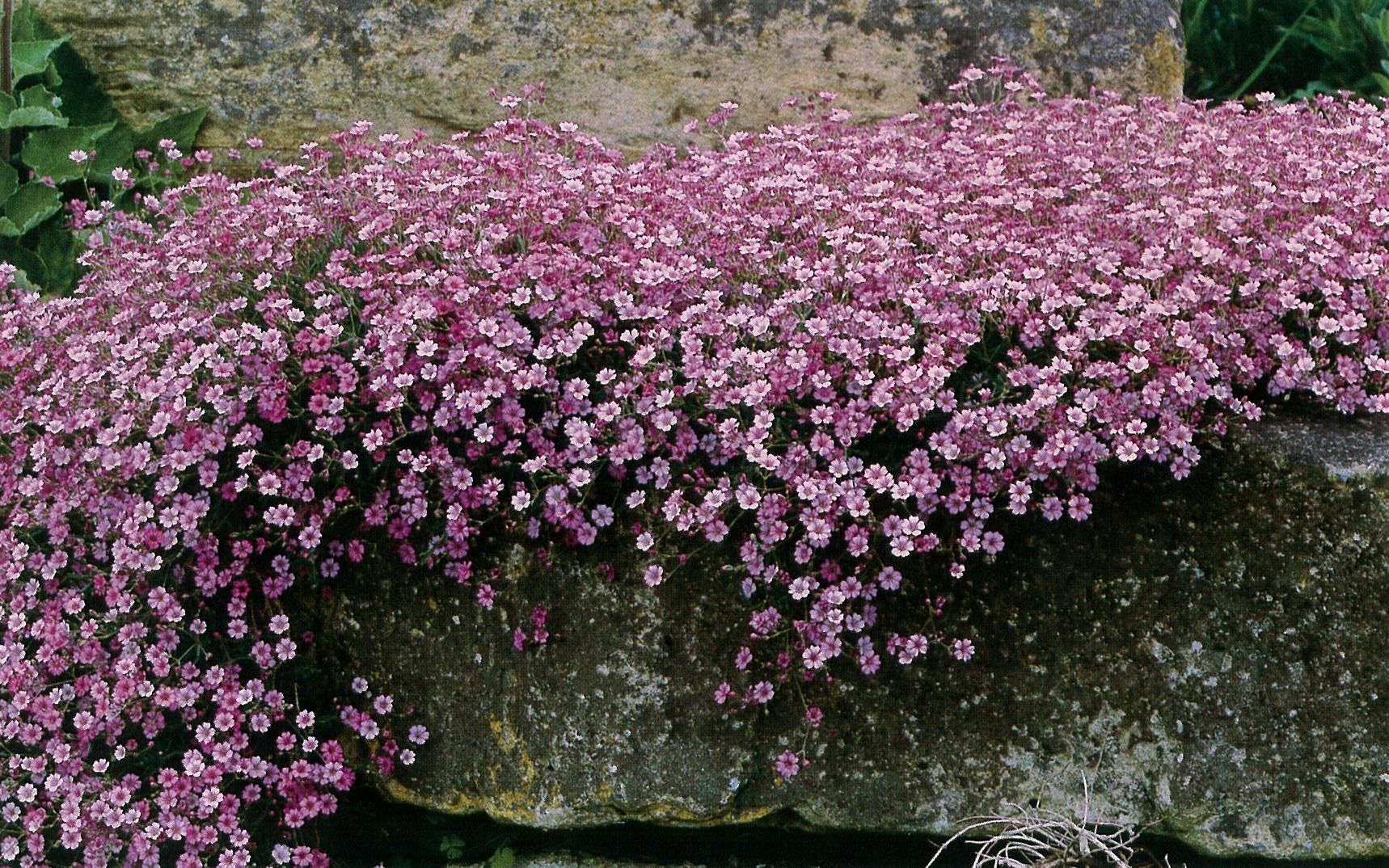 Gypsophila Repens Rosea Baby S Breath Plant Flowers Perennials Small Pink Flowers