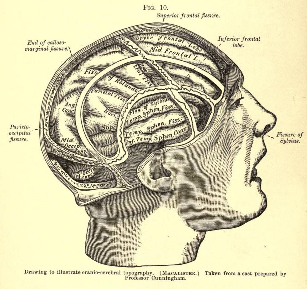 Cranio-Cerebral Topography | Brain Illustrations in 2019 ...