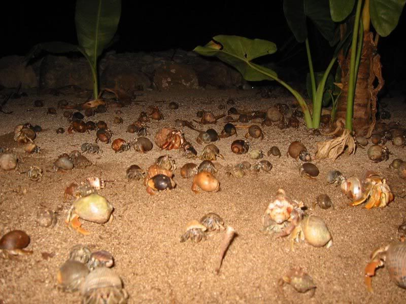 A hermit crab convention on a beach. | All About Hermit ...