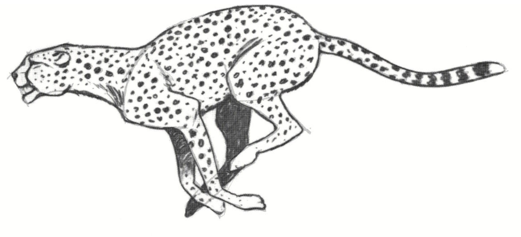 Draw A Cheetah In 2020 Cheetah Drawing Big Cats Art Animal Drawings