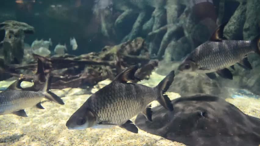 Bala Shark Tricolor Shark Silver Stock Footage Video 100 Royalty