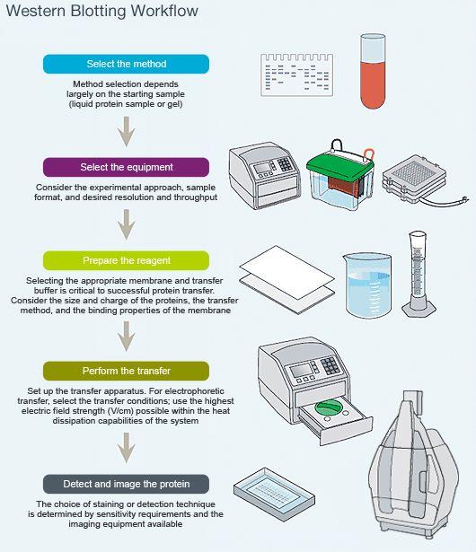 Diagram of western blotting workflow - western blotting Science
