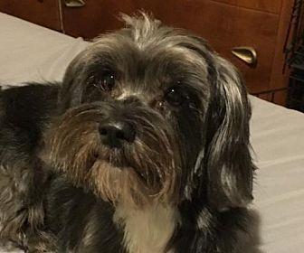9 10 17 Mckinney Tx Havanese Cairn Terrier Mix Meet Sarina A