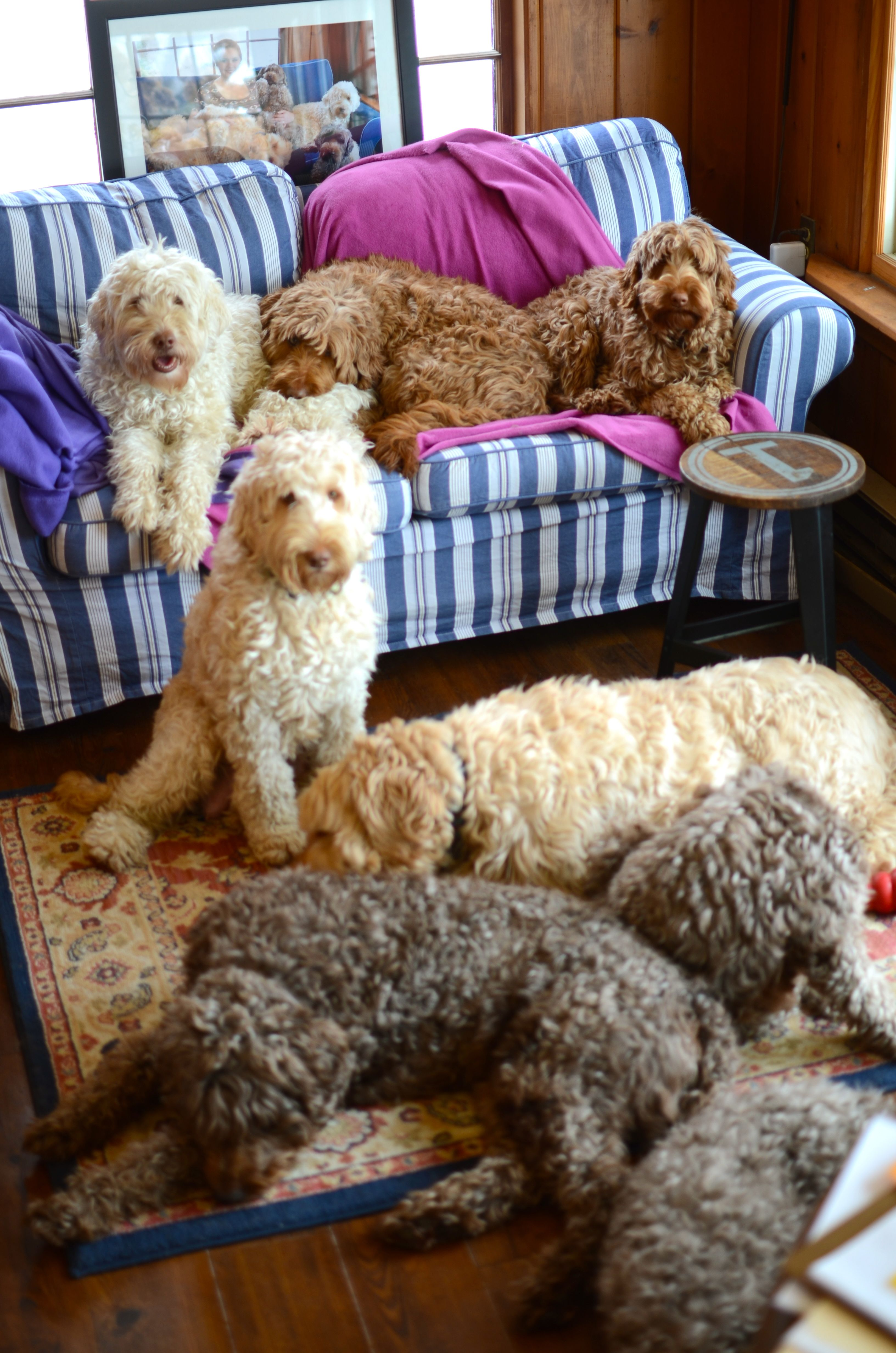 Bhl Gang Doodle Dog Cute Dogs Breeds Cool Pets