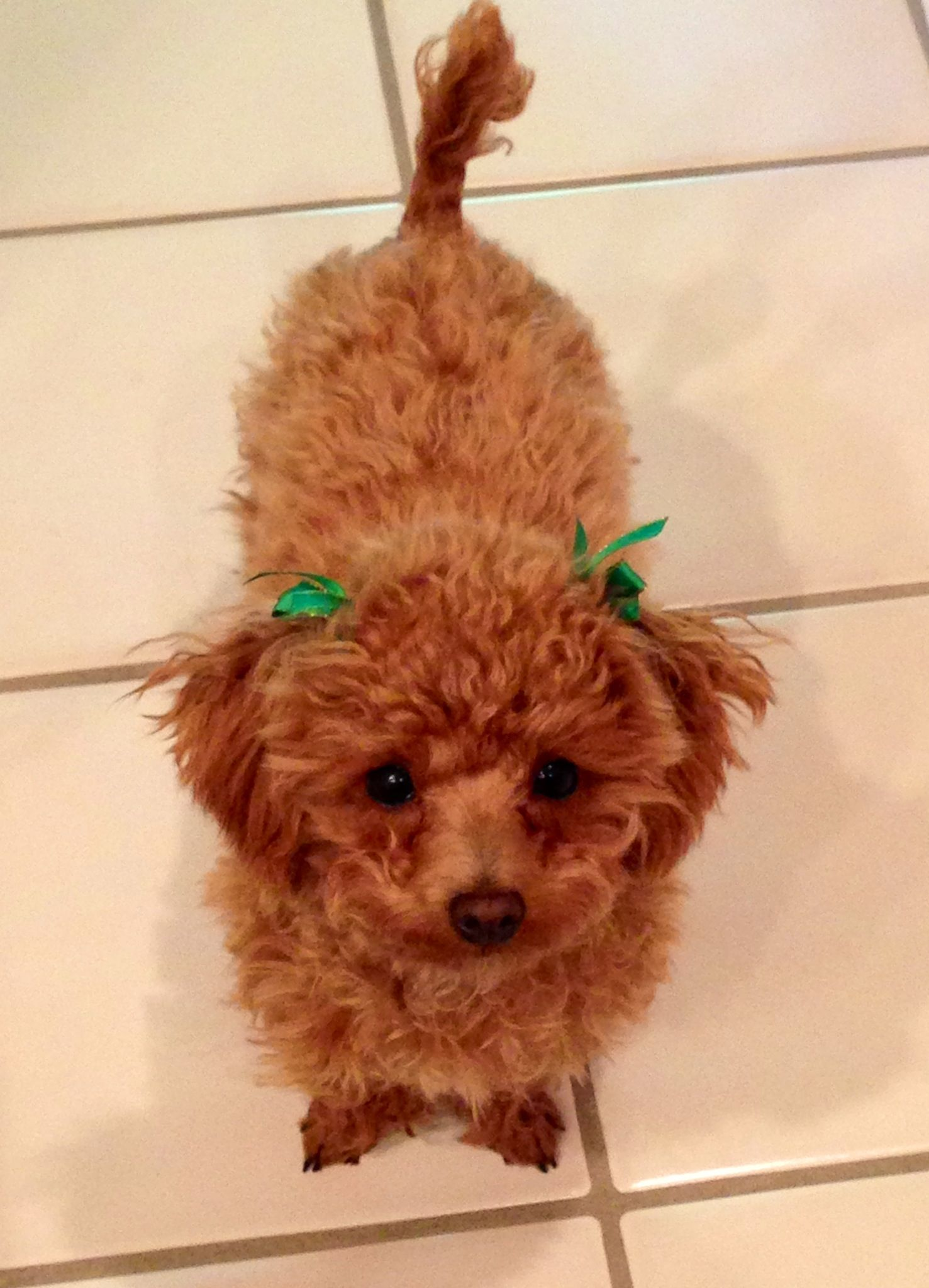 6 Month Old Toy Poodle Puppy Toy Poodle Puppies Poodle Poodle Puppy