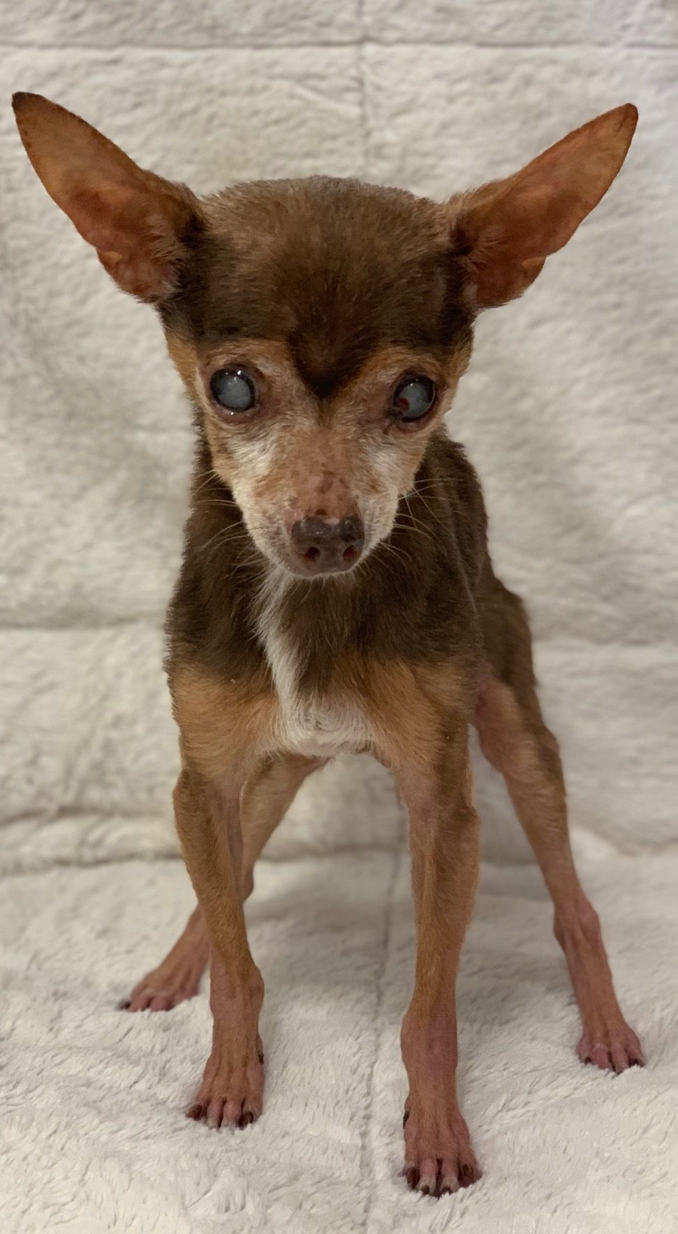 Adopt Pappy On Animal Rescue Pet Adoption Chihuahua Dogs