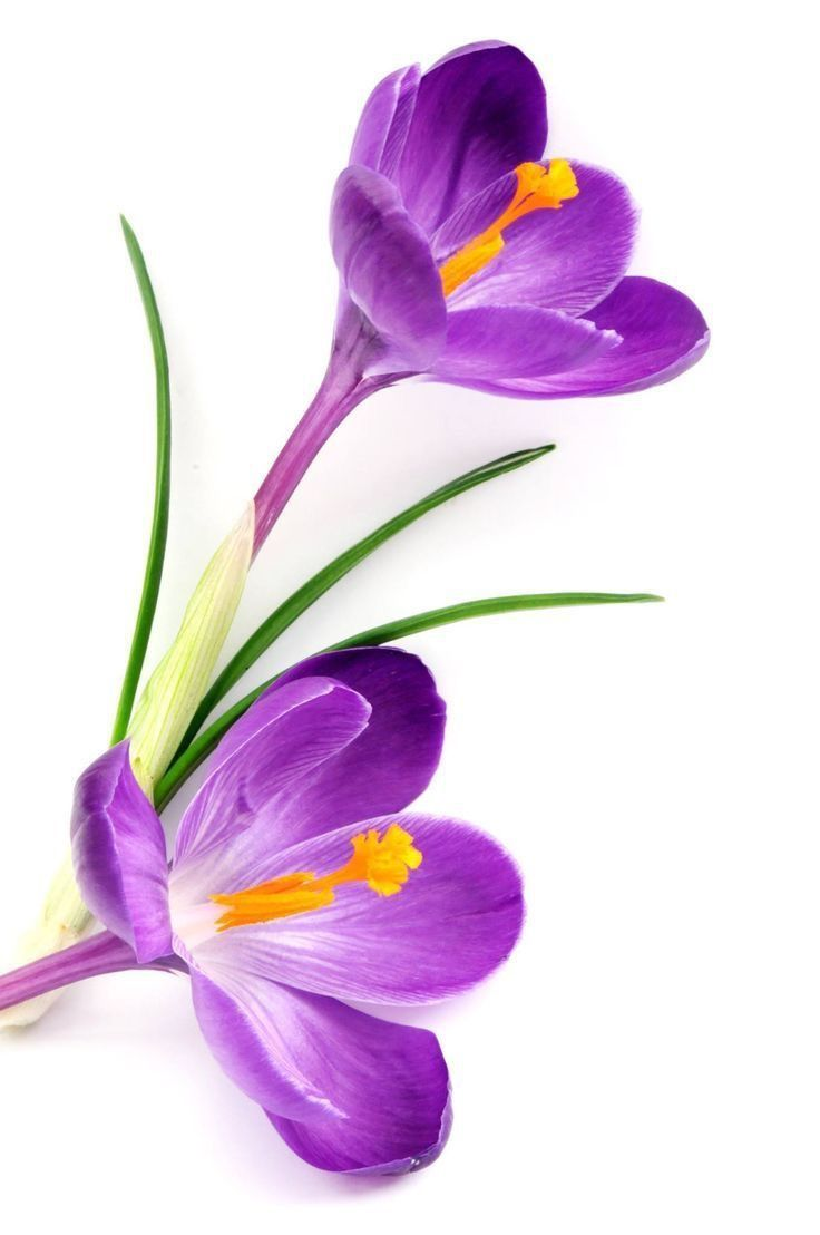Crocus Daffodil flower, Floral drawing, Purple flowers
