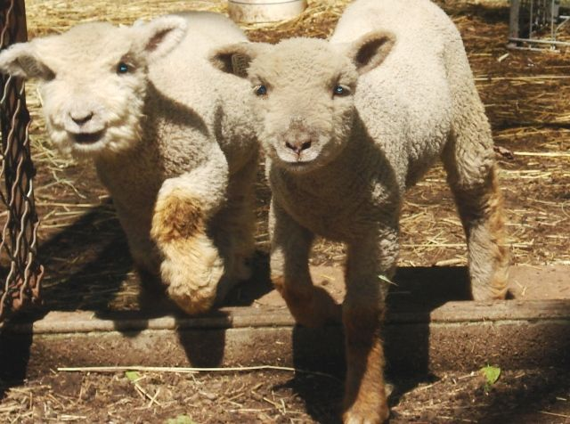 dating site for sheep
