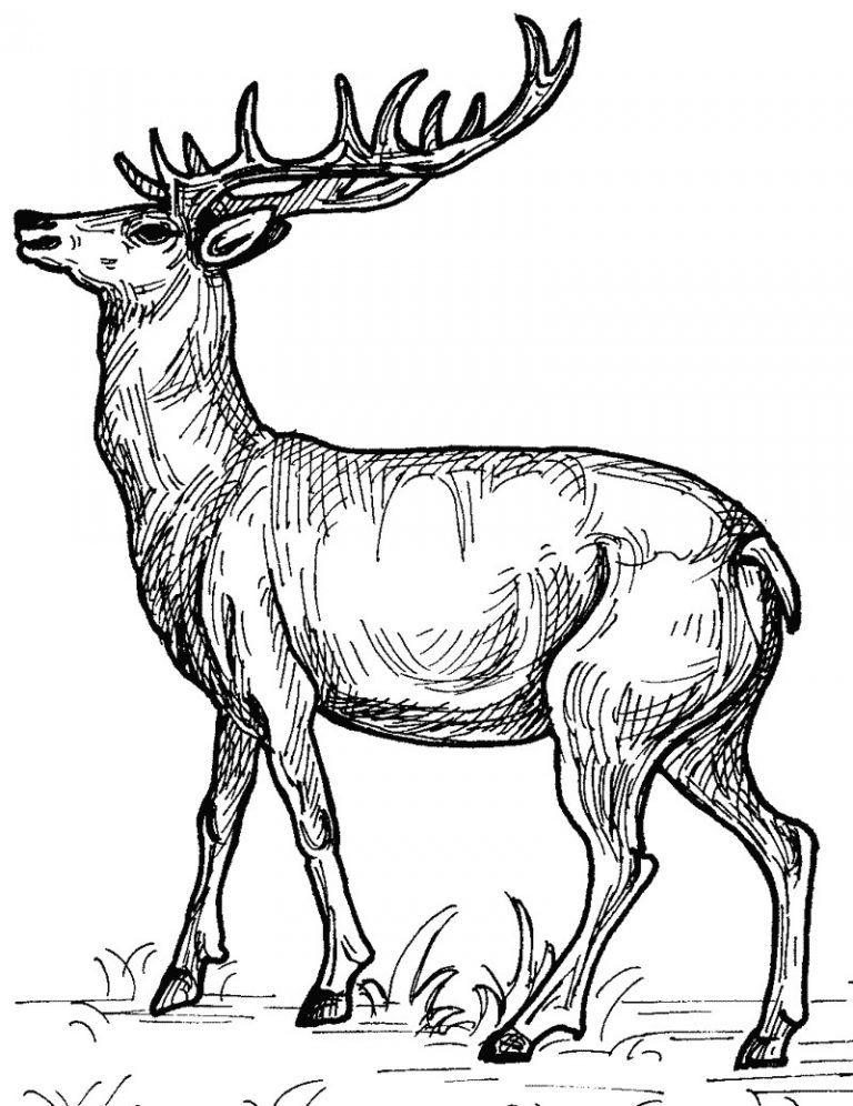 Planse De Colorat Cu Cerbi Con Imagini Cu Animale Domestice De Colorat E Planse 20desene 20de 20colora Deer Coloring Pages Coloring Pages Animal Coloring Pages