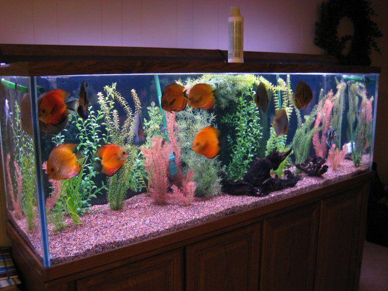 Setting Up A Discus Fish Aquarium Aquarium Decorations Fish Tank Decorations Aquarium Design