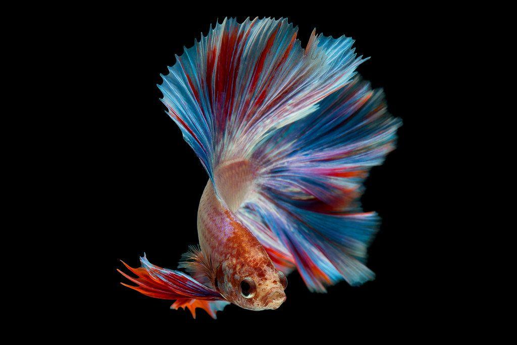 Betta In 2021 Betta Betta Fish Fish Betta fish wallpaper gif betta fish gif