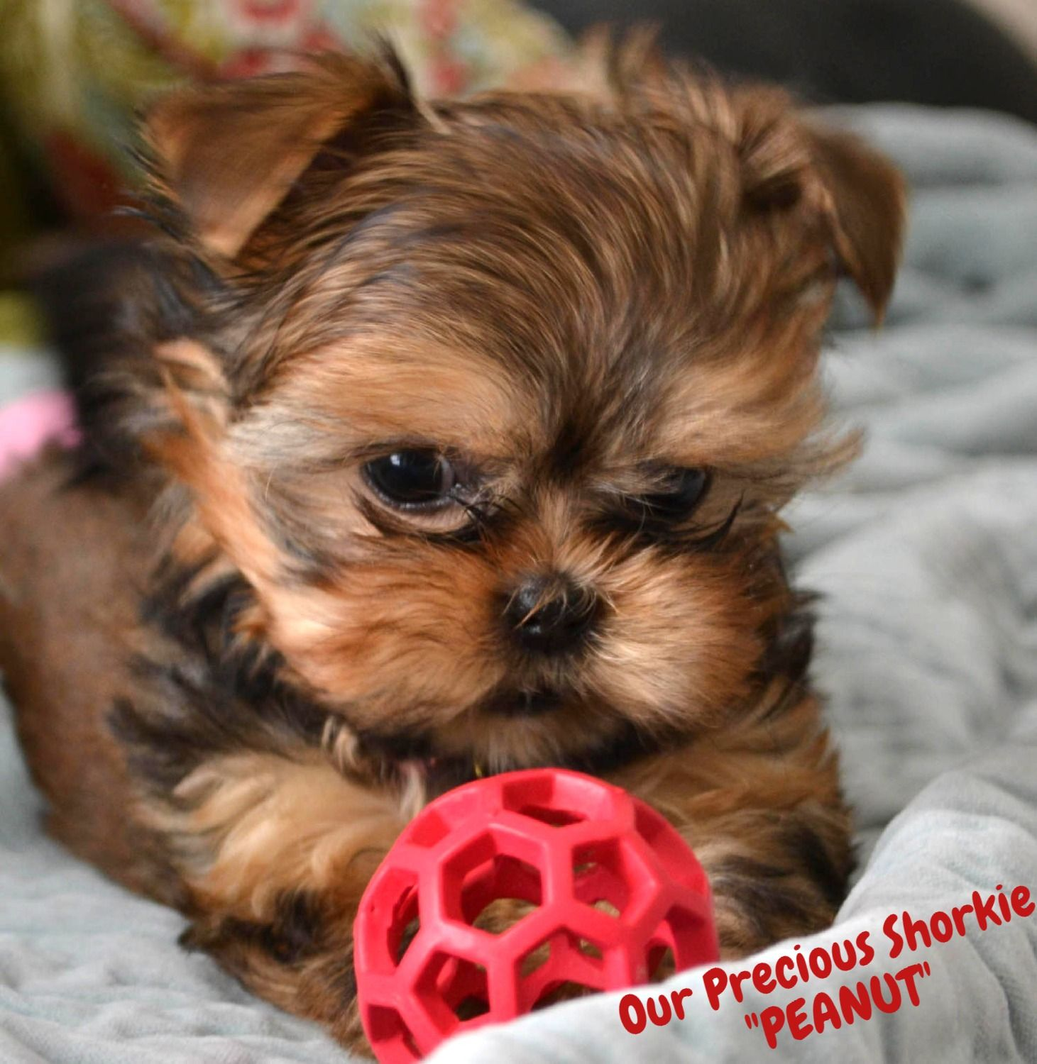 Teacup Yorkies For Sale In Tn Teacup Parti Yorkies For Sale In Tn Yorkie Breeder In Tennessee Parti Yorki Shorkie Puppies Yorkie Puppy Yorkie Puppy For Sale