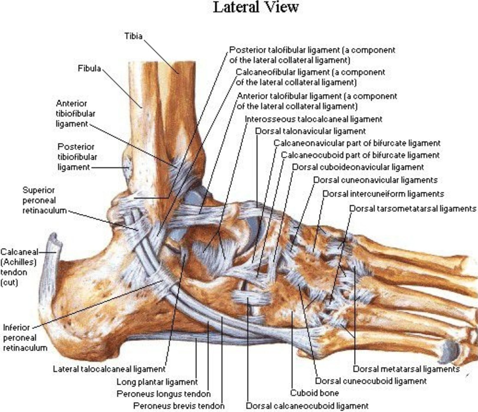hight resolution of lateral aspect of the ankle ligaments netter