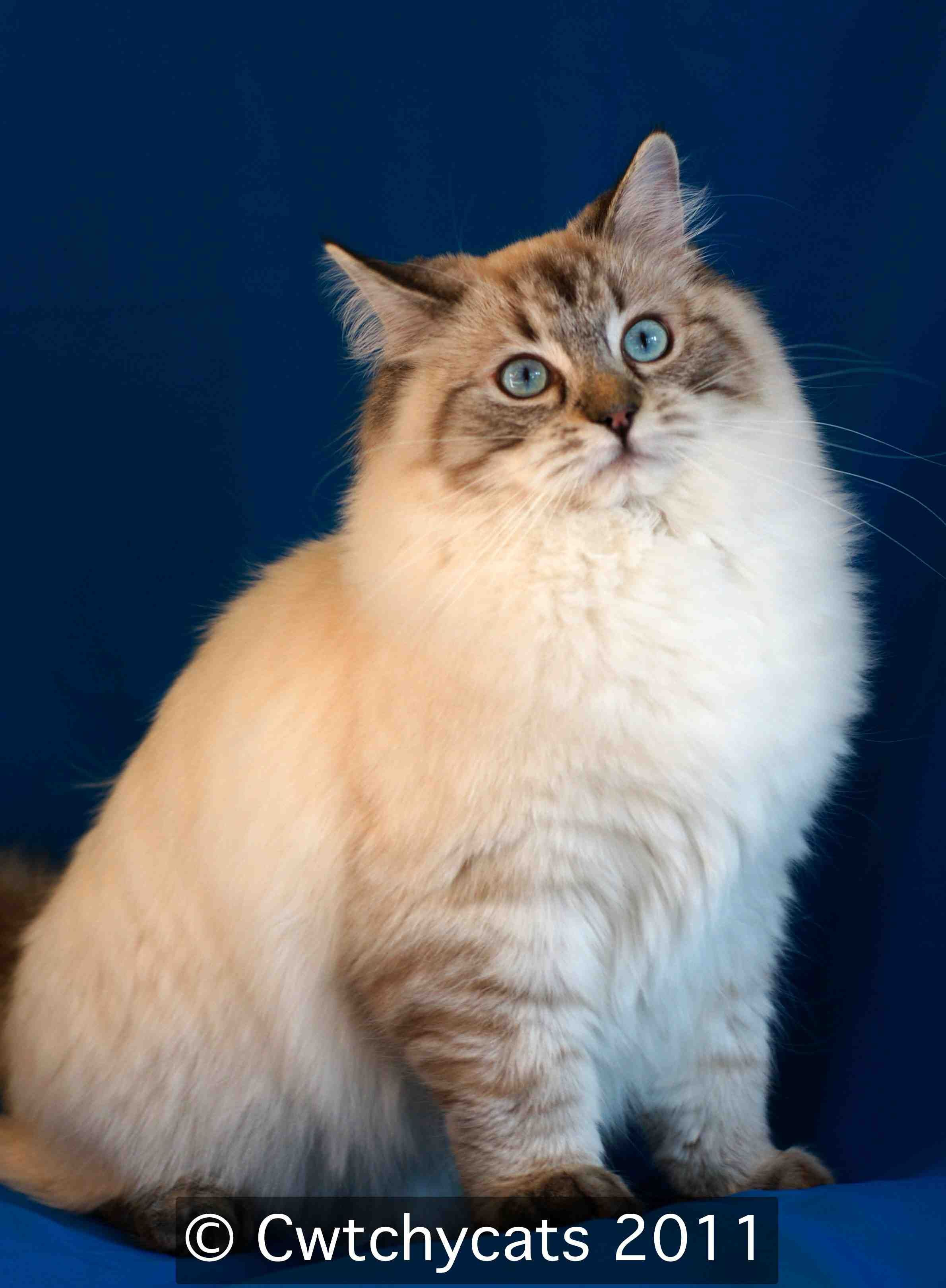 seal point lynx ragdoll cat