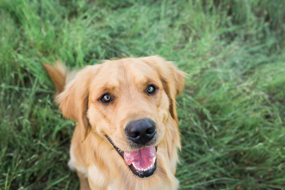 One Year Old Golden Retriever Photo Shoot In Field Healdsburg Ca