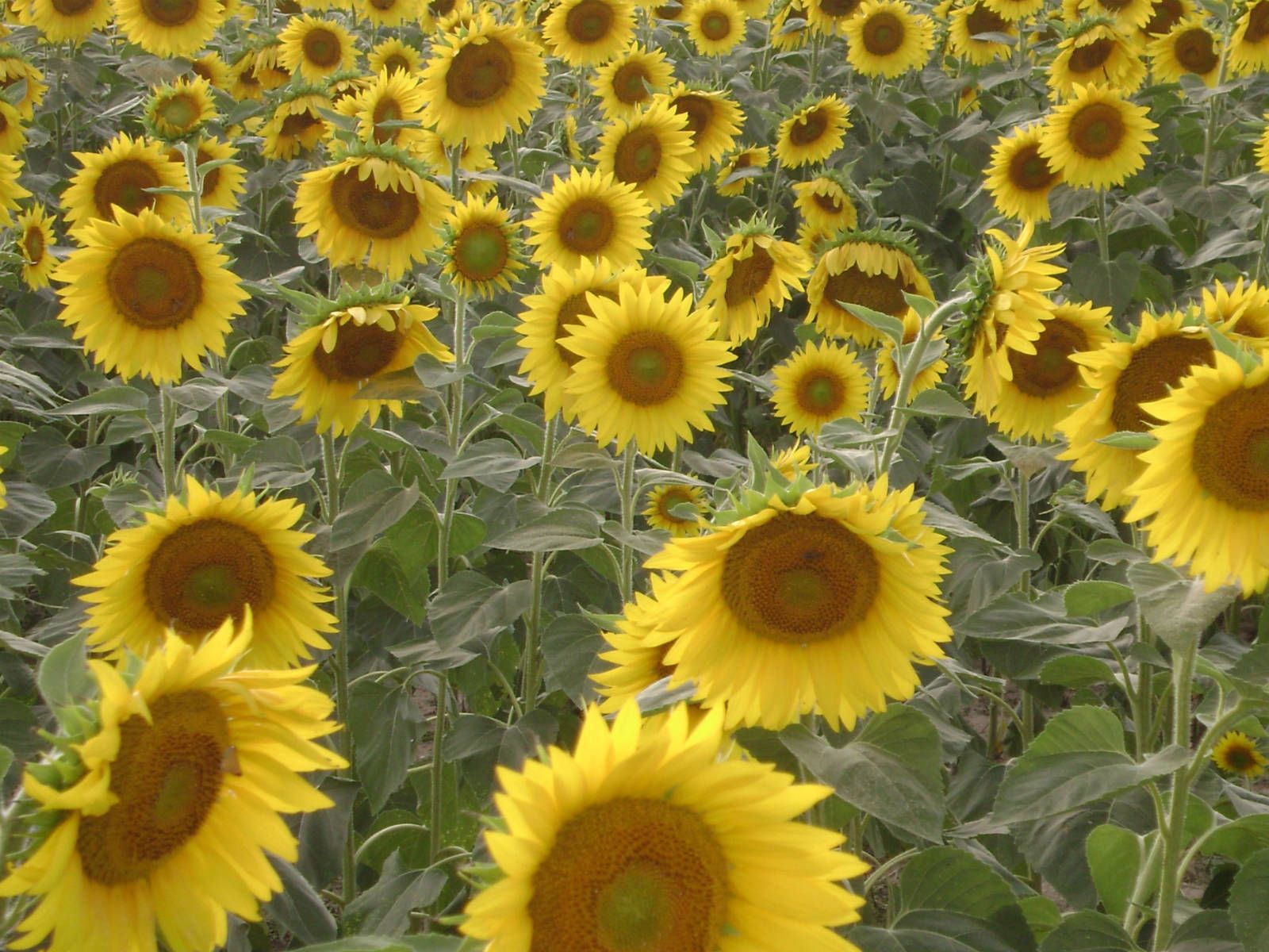 Helianthus Annuus Sunflower World Of Flowering Plants Bee Friendly Flowers Planting Sunflowers Planting Flowers