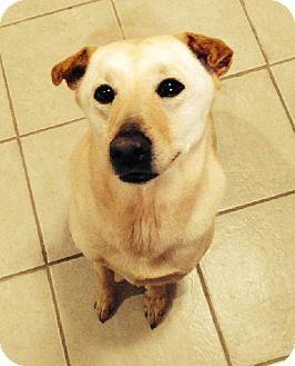 Livonia, MI Labrador Retriever/Australian Cattle Dog Mix
