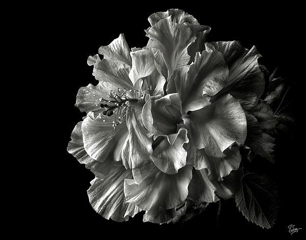 Fluffy Hibiscus In Black And White By Endre Balogh Black And White Flowers Hibiscus Black And White Photographs