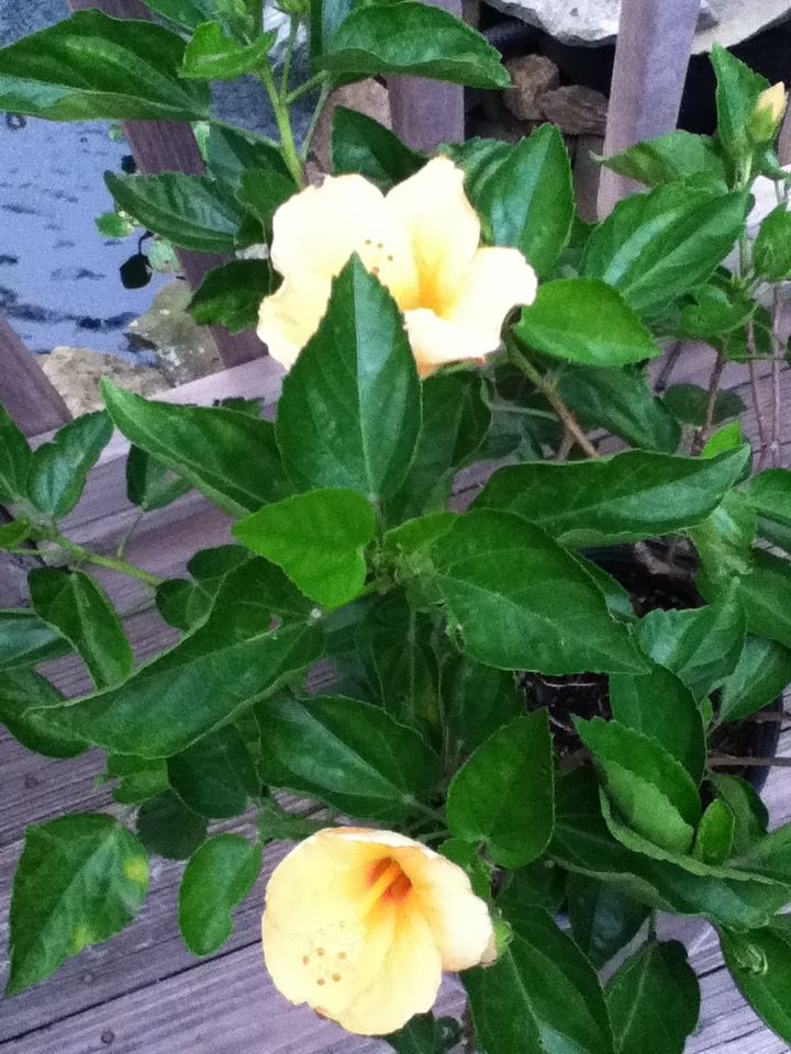 Hibiscus on the deck