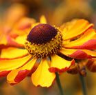 Helenium 'Rauchtopas' sneezeweed. Wonderful bi-coloured flowers.