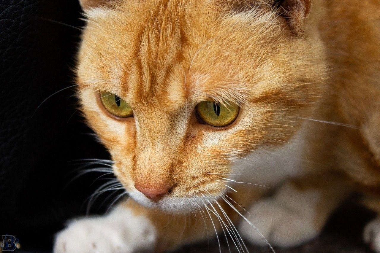 Gatto Europeo Rosso Animali Gatti E Animali