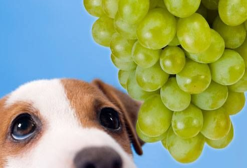Harmful foods for Dogs   Grapes and raisins:  Grapes and raisins have been found recently to induce kidney failure in some animals. This failure can be permanent and life threatening. It does not seem to relate to the volume ingested, and not all animals seem to be equally susceptible. Although some dogs have been eating grapes for years, the safe course is to avoid grapes and raisins completely.