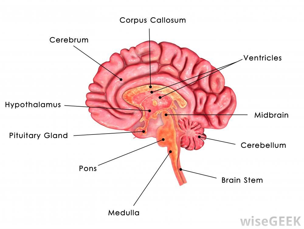 Gaba Is Believed To Stimulate The Area Of The Pituitary Gland That