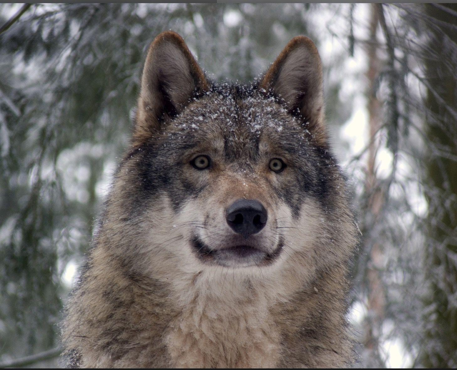 Pin by Wendy Beach on Wolf & Fox Wolf dog, Grey wolf