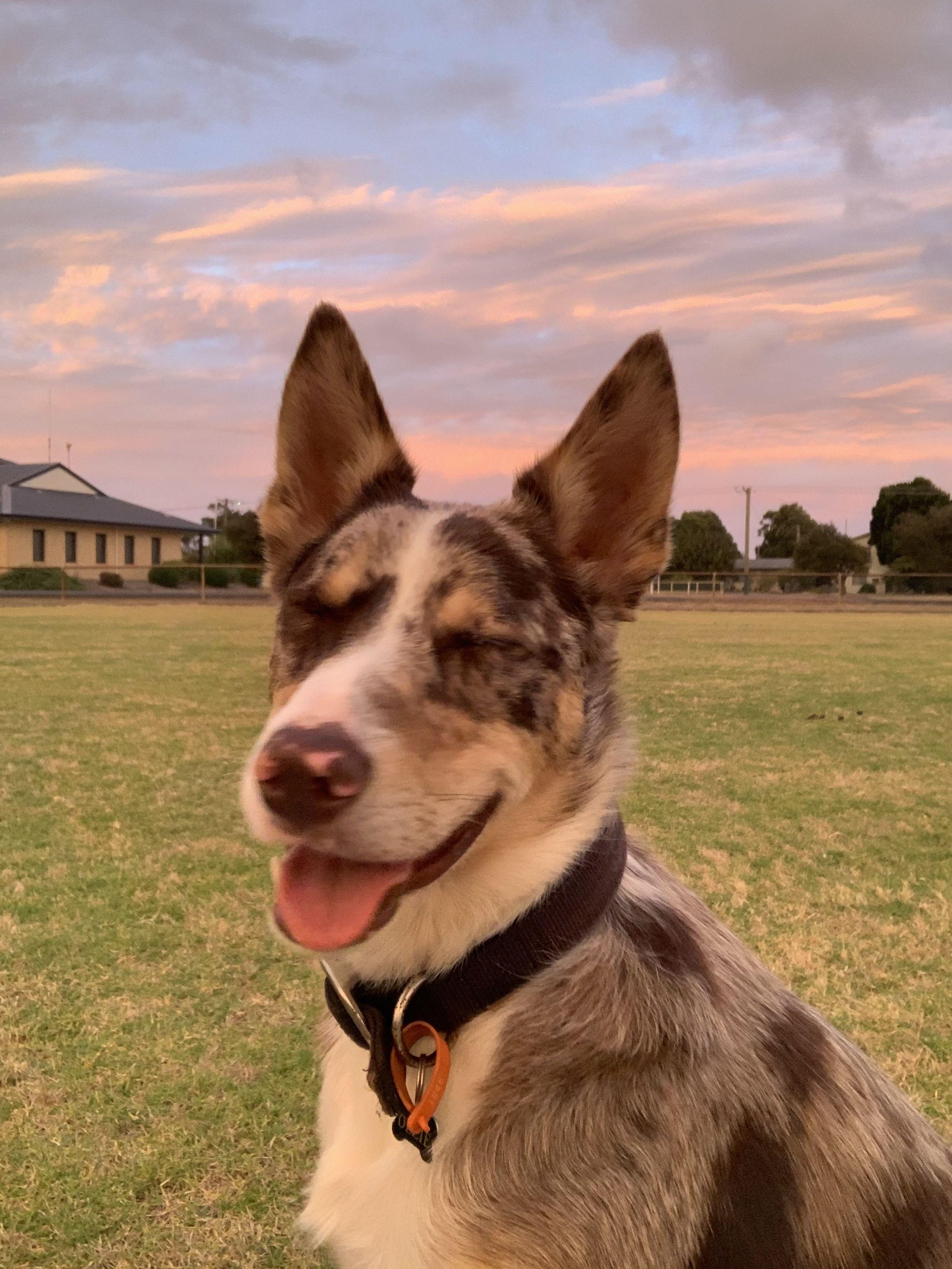 Cross Breed Australian Shepherd X Border Collie X Kelpie In 2020 Australian Shepherd Border Collie Collie