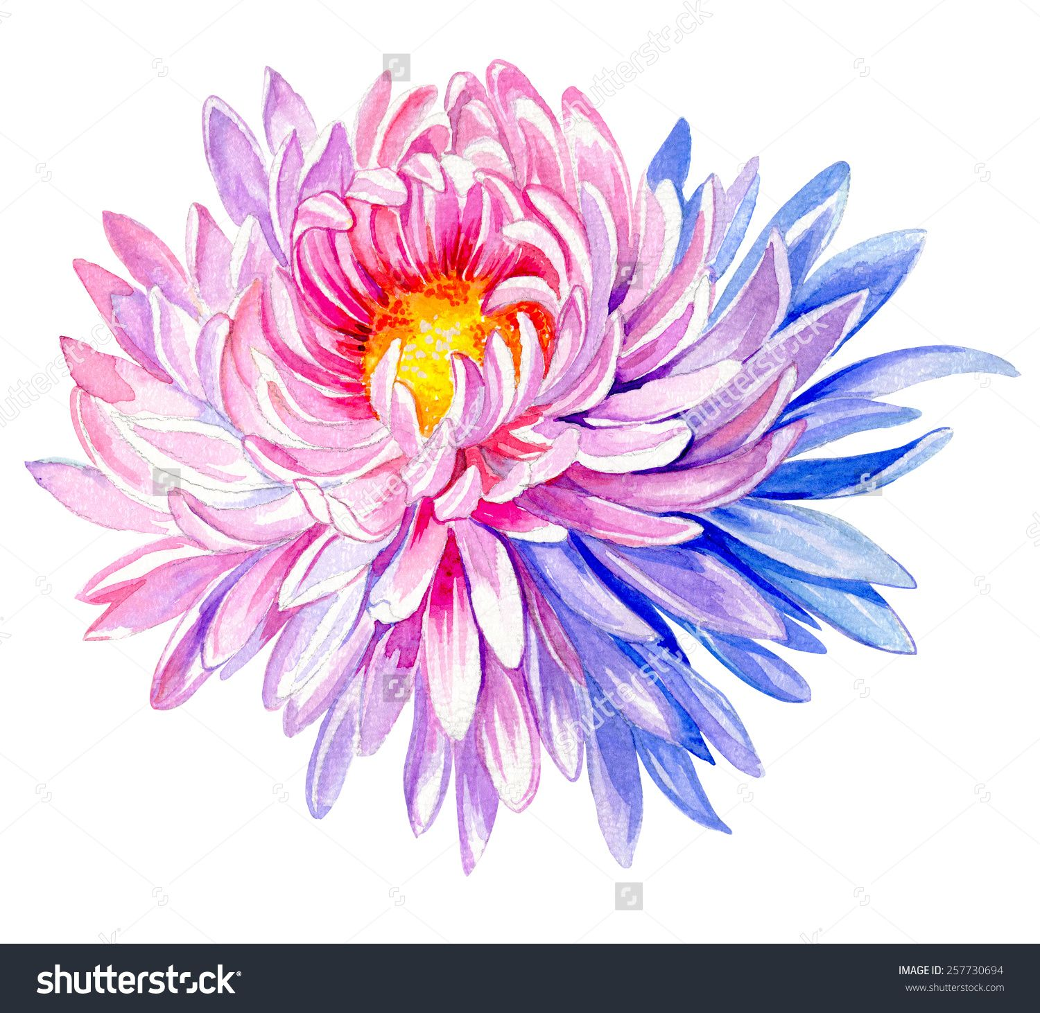 Stock Photo Large And Very Detailed Painting Of Chrysanthemum Flower Large Astera Daisy In Water Chrysanthemum Tattoo Birth Flower Tattoos Aster Flower Tattoos