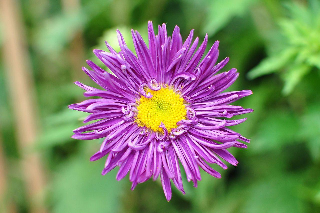 Callistephus Beautiful Flowers Garden Aster Flower Flower Show