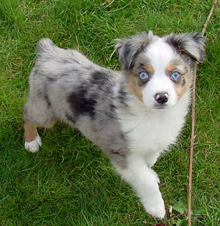 Miniature Australian Shepherds Cute Dogs Miniature Australian