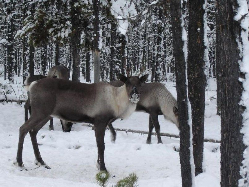 Pin by 0ALEX0 Barbarossa on caribou in 2020 Caribou