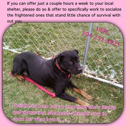 Adopt Mason On Pet Id Adoption Rottweiler Puppies
