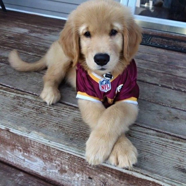He May Be A Golden Retriever But He S Sure Rocking That Crimson