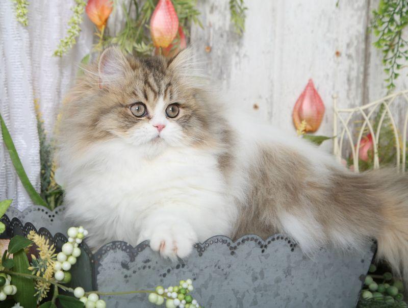 Bicolor Persian Kittens For Sale Persian Cat Doll Face Persian Cat Persian Kittens For Sale