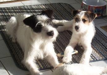 Parson Russell Terrier, Jack Russel terrier