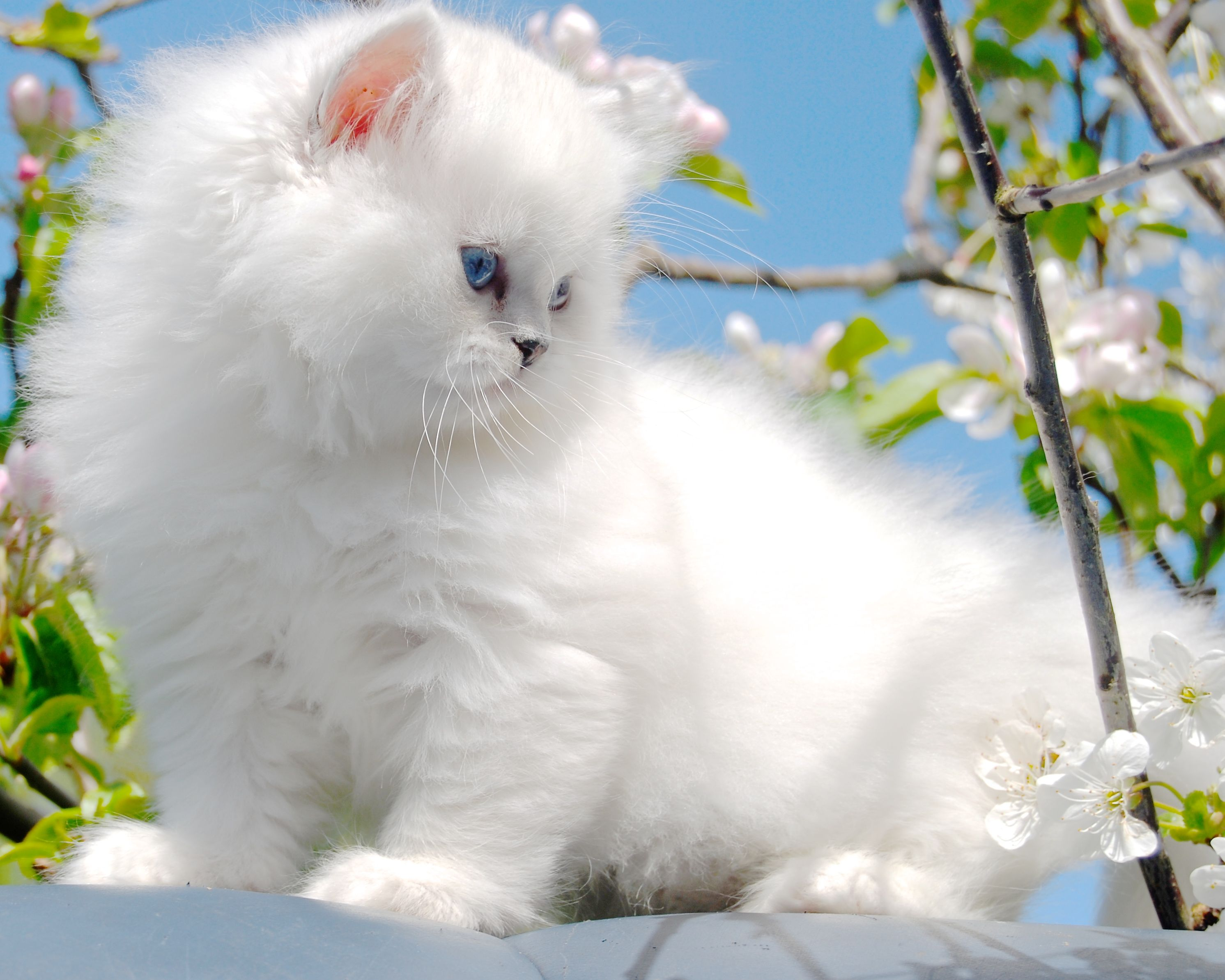 Belle Ayr Snow Lily Our Silver Shaded Pointed British Longhair Ns1133 Blh British Shorthair Cats Ayr Cats