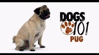 Pug Dogs 101 Dogs Pugs