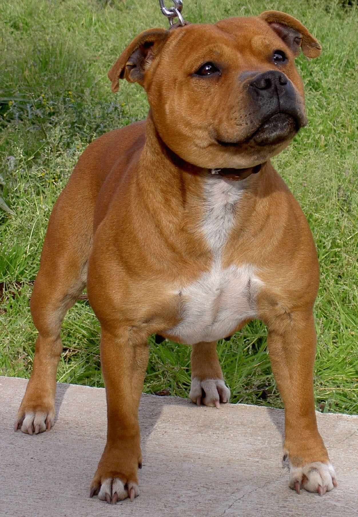 Men S And Women S Work Shorts Take Your Legs To Work Bull Terrier Dog Breeds Staffordshire Bull Terrier