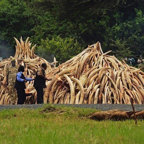 Kenya Has Burned More Than 100 Tonnes Of Ivory In A Warning To Poachers - BuzzFeed News