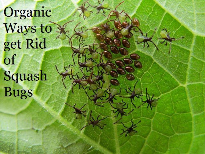 Organic Ways To Get Rid Of Squash Bugs Getting My Garden