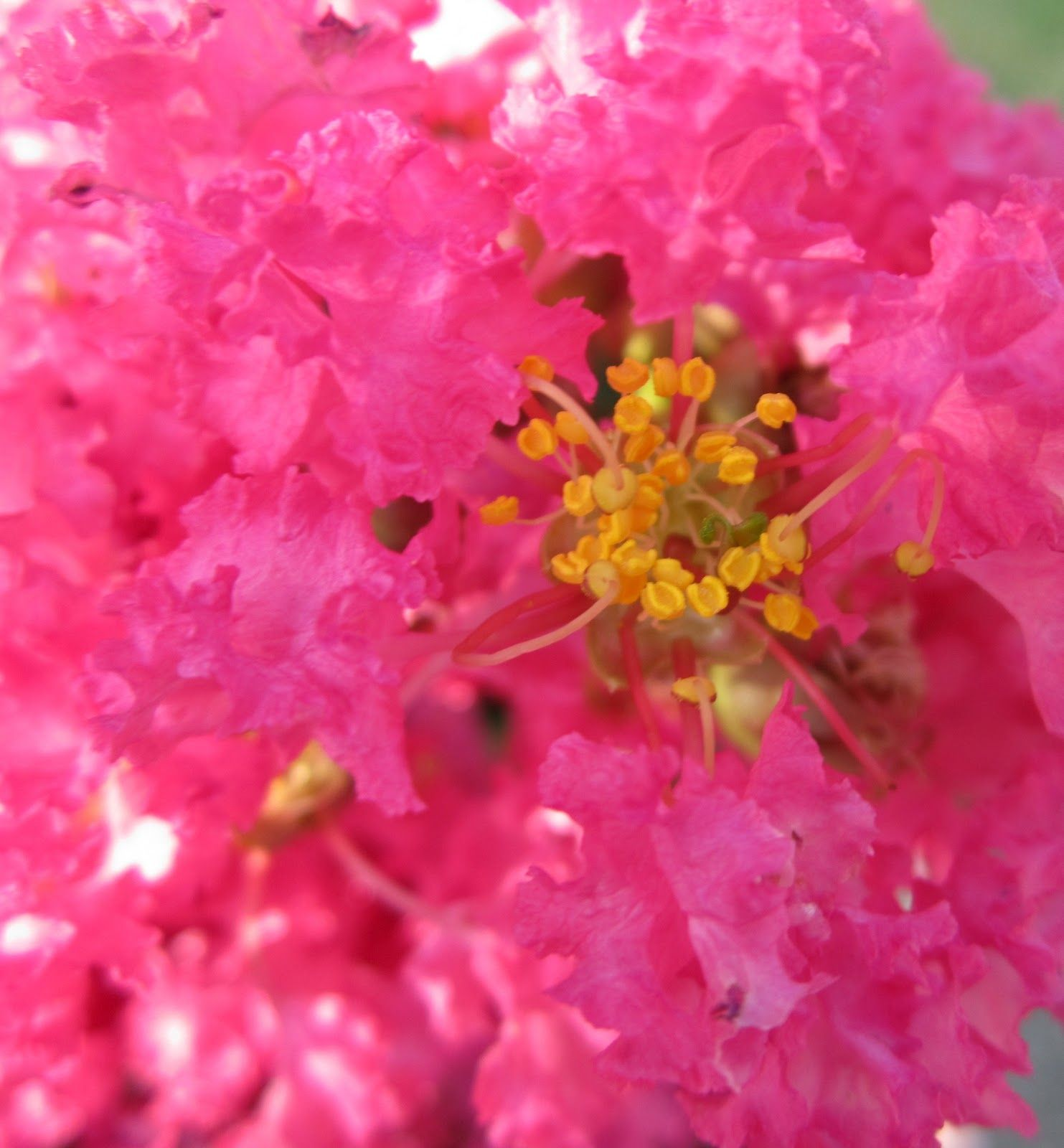 Crape or crepe myrtles are blooming all over now