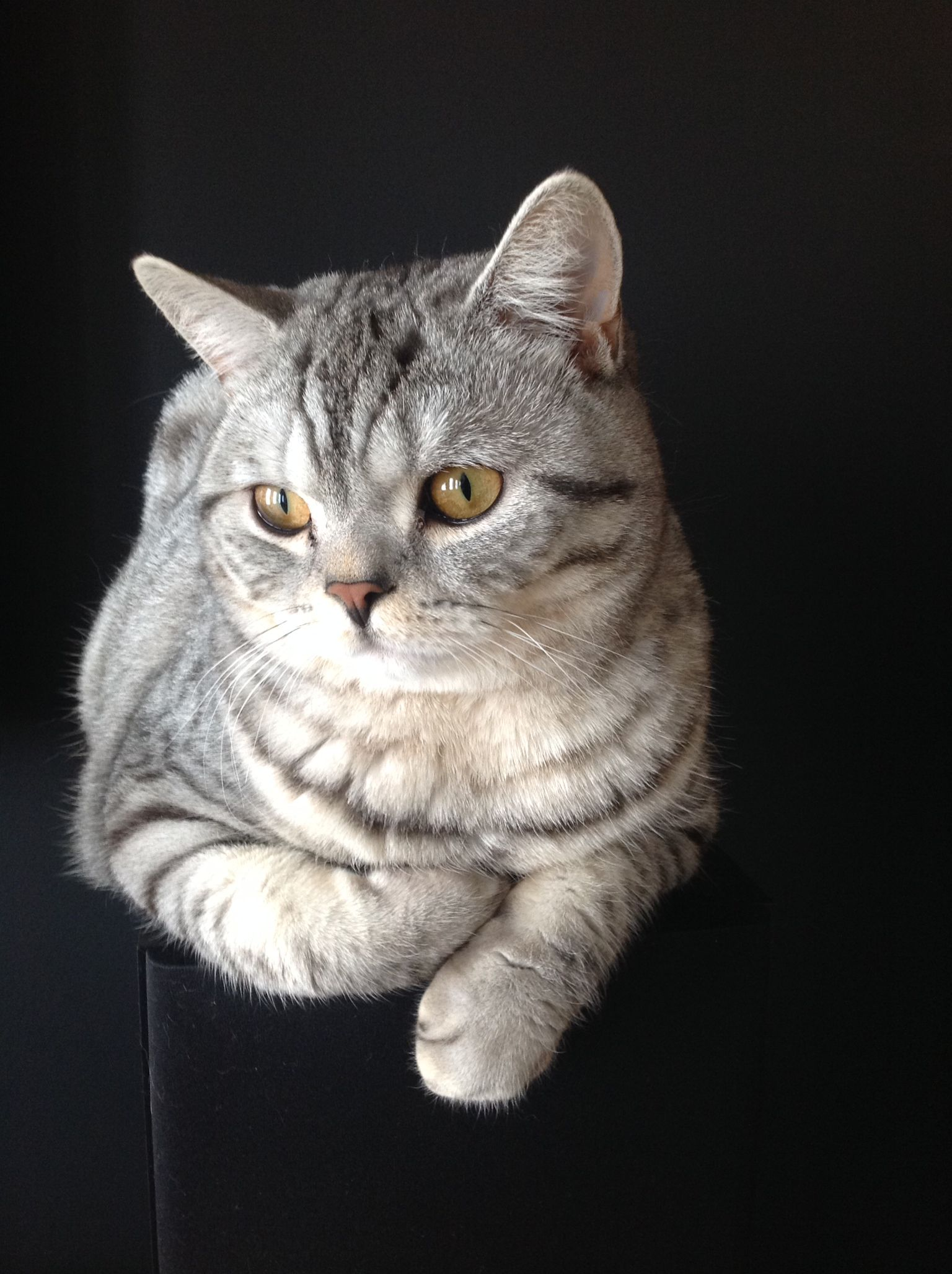 British Shorthair Silver Spotted Timmy Cat Sleeping Cat Shelter British Shorthair