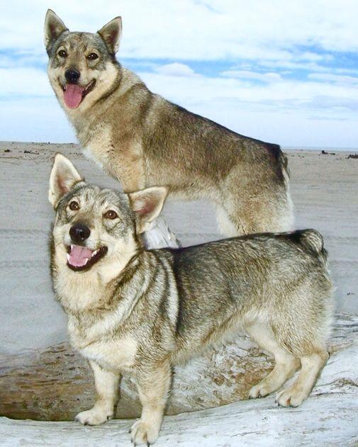 The Swedish Vallhund Is Also Called Vastgotaspets It Is Believed That The Swedish Vallhund Distinguished Itself During Th Swedish Vallhund Corgi Breeds Dogs