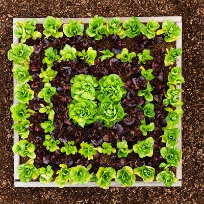 Grow your own salad greens