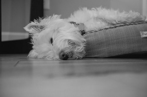 westie hangover... Glad Tanner isn't the only one who does this