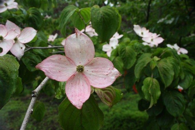 Flowering Trees Flowering Trees Plant Catalogs Dogwood